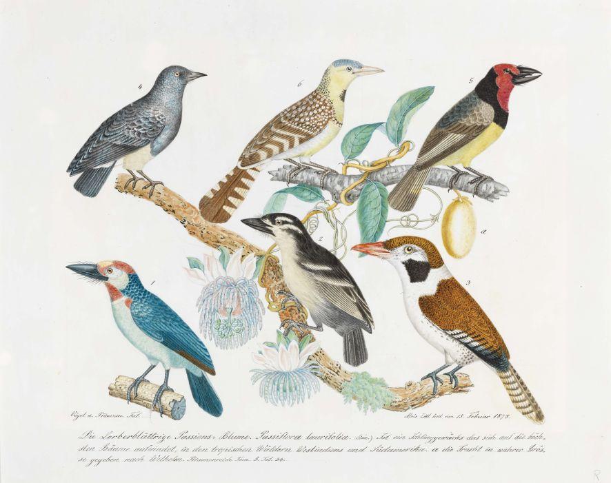 Aloys Zötl, Vögel und Passionsblume, 1878, Bleistift und Aquarell auf Papier