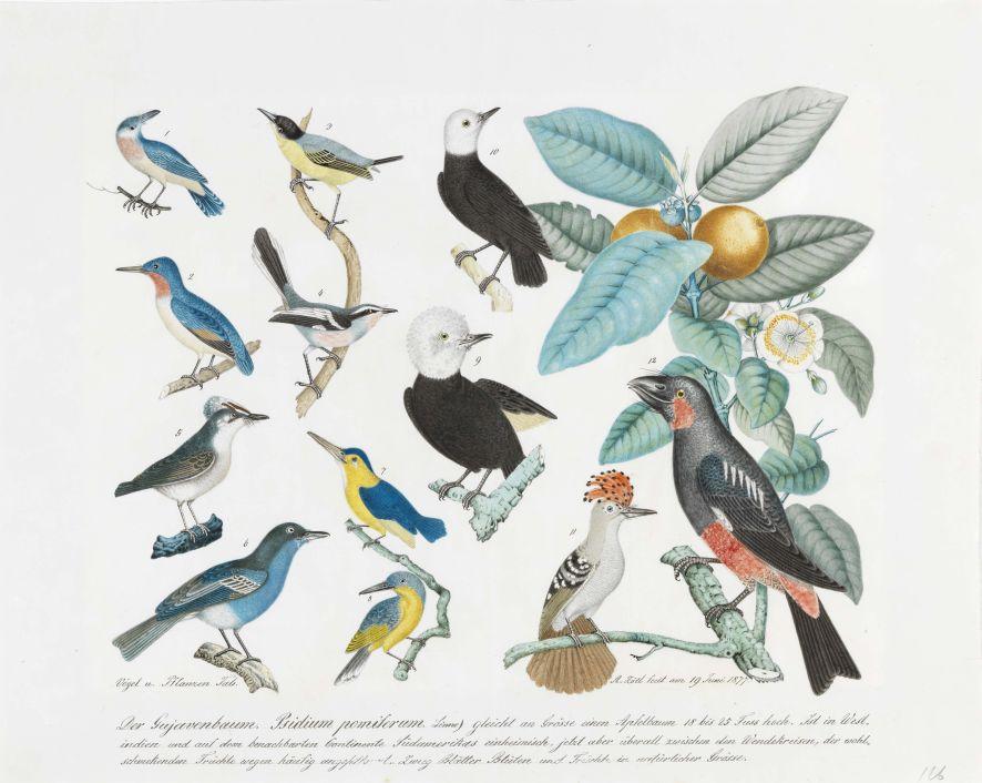 Aloys Zötl, Vögel und Guavenbaum, 1877, Bleistift und Aquarell auf Papier, 43,7 x 54,7 cm