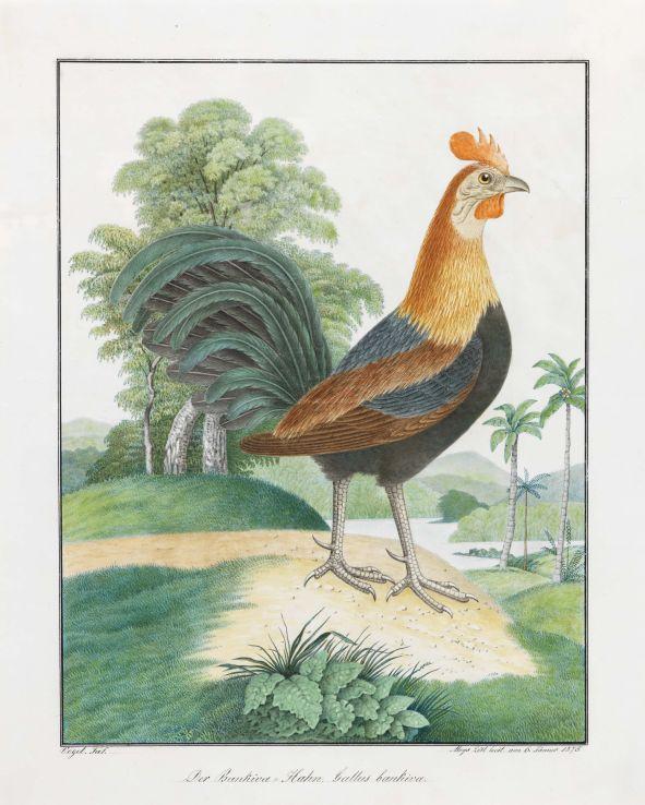 Aloys Zötl, Der Bankiva Hahn, 1875, Bleistift und Aquarell auf Papier, 50 x 40 cm