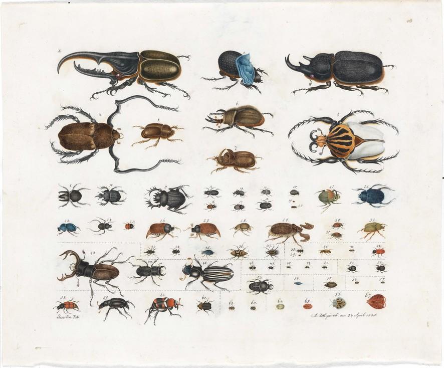 Aloys Zötl, Insecte (Scarabée) - Planche 15, 1848, Aquarell auf Papier